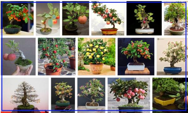 Bonsai Apple Trees Growing Process