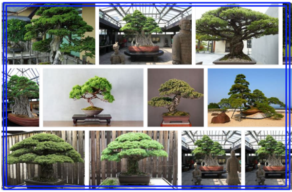 Oldest Bonsai Tree in the World - Awesome!